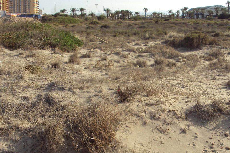 Elaboramos un inventario de flora silvestre protegida en arenales de La Manga por encargo del Ayuntamiento de San Javier