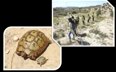 BIOCYMA lleva a cabo las medidas de protección sobre la tortuga mora establecidas en la Declaración de Impacto Ambiental para un tramo del proyecto constructivo de la plataforma del AVE Murcia-Almería